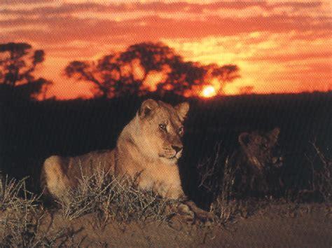 imágenes de leones juntos el leon el rey de la selva