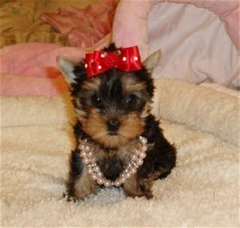 yorkies sale chattanooga tn pets chattanooga tn free classified ads