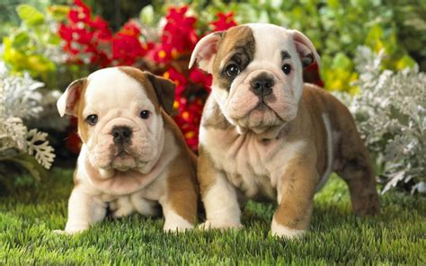 pics of bulldog puppies top 10 dogs wallpapers hd animals wallpapers