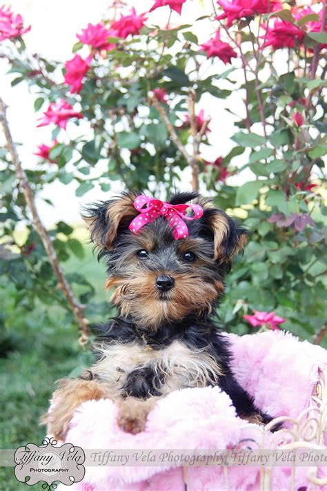 yorkie photoshoot my yorkie puppy for photoshoot isn t she the cutest thing with