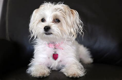 bishon yorkie bichon frise yorkie mix www pixshark images galleries with a bite