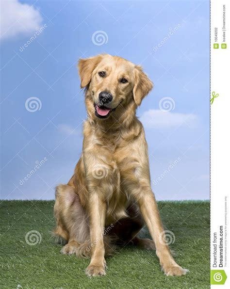 1 year golden retriever golden retriever sitting on the grass 1 year stock photography image 10049202