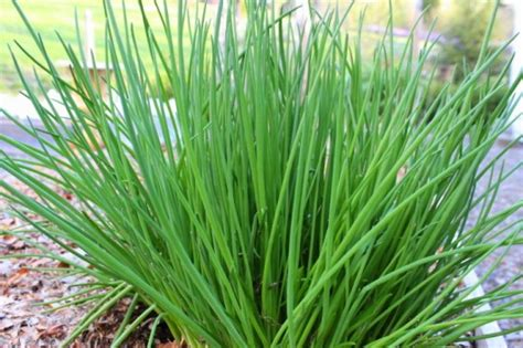 chives growin crazy acres