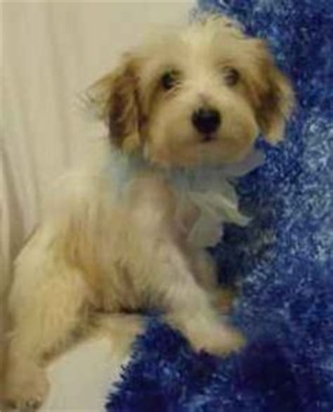 shih tzu puppies craigslist dallas papipoos on papillon poodle mix and poodle