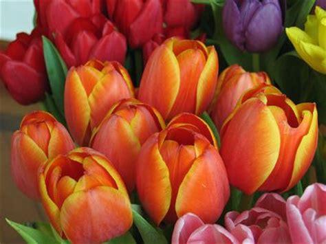 immagini di fiori tulipani il fiore dell e il tulipano rosso in the wind