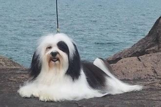 yuppy puppy havanese 4 gorgeous themed picture frames in biological science picture directory