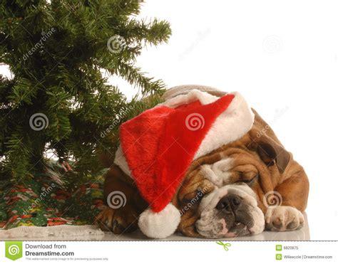 english bulldog  christmas royalty  stock photo image