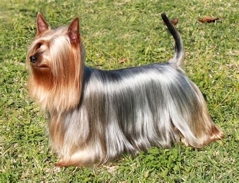 yorkie silky puppies professional grooming shoo and conditioner shoo conditioner pet