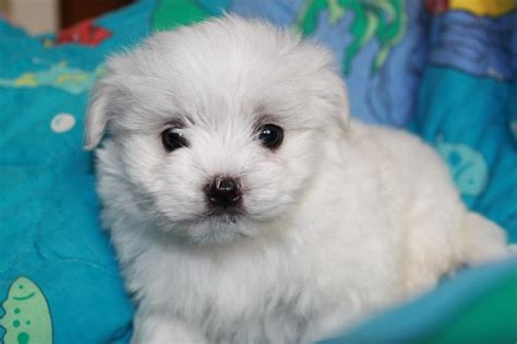 maltese puppy names 10 best maltese names