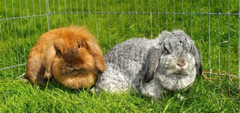 gabbie x conigli nani pro e contro nell avere un coniglio come animale domestico