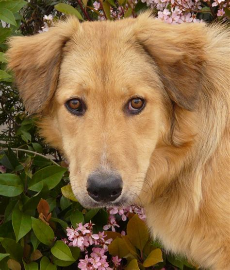 shepherd golden retriever mix pin golden retriever german shepherd mix pictures on