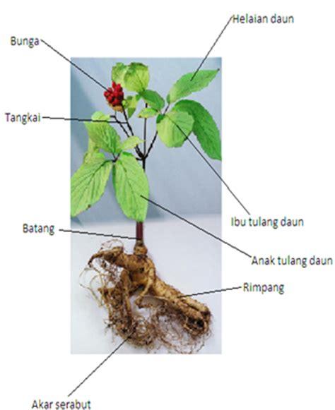 Pohon Ginseng tugas komputer tanaman ginseng