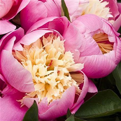 dwell and tell pink peonies quot shirley temple quot peony nursery on photo courtesy of