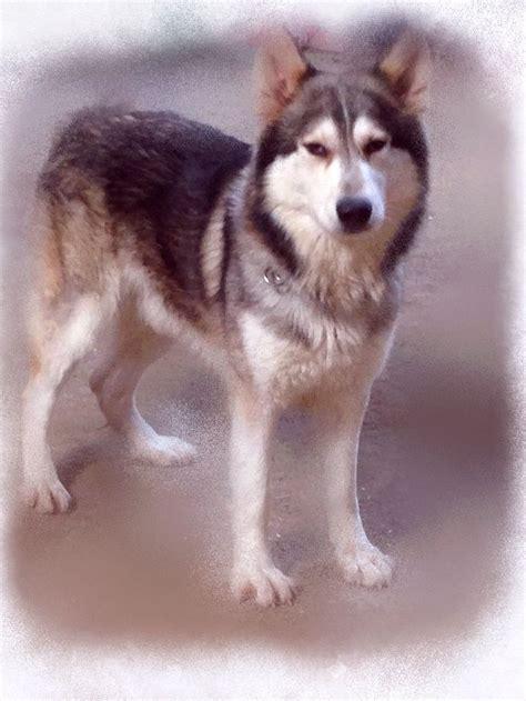 northern inuit for sale gsd x northern inuit lincoln lincolnshire pets4homes