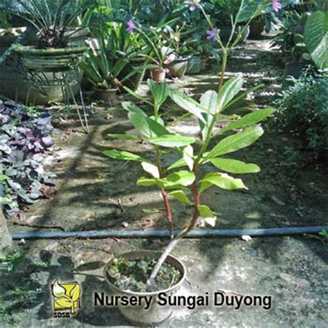 Daun Ginseng Jawa nursery sungai duyong ginseng jawa gedung tumbuhan anda
