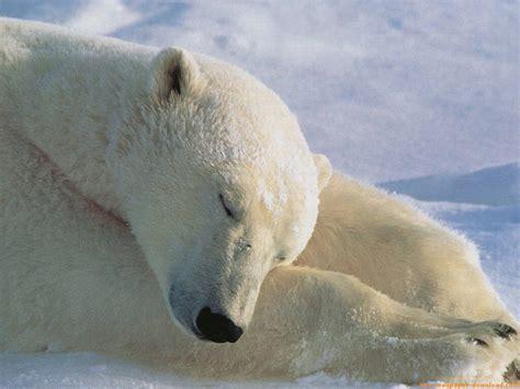 imagenes animales polares animales graciosos osos polares blogodisea