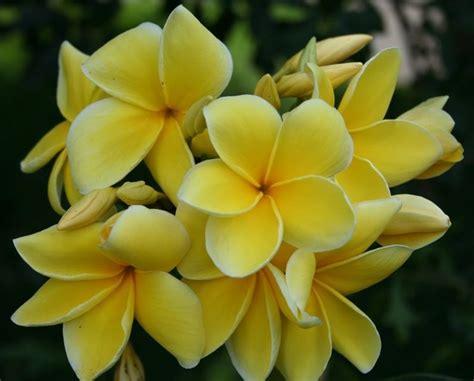 frangipane fiore frangipane plumeria rubra plumeria rubra piante da