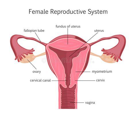 innere schamlippen 女性生殖系统 向量例证 插画 包括有 医疗 爱好健美者 子宫颈 排卵 绘制 语科库 切掉 女性
