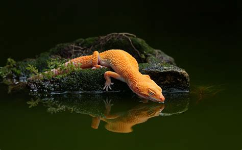 water lizard lizard water reflection water gecko wallpaper 2000x1242 133893 wallpaperup