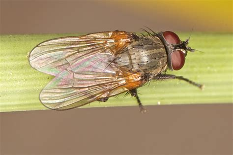 lesser house fly lesser house fly common flies in alameda county vector services