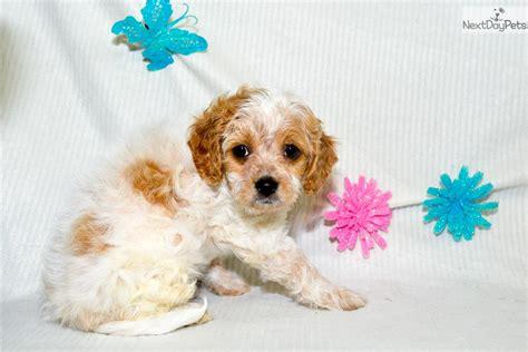 cavapoo puppies for sale in illinois cavapoo puppy for sale near southern illinois illinois 1d9ec4cc e6e1