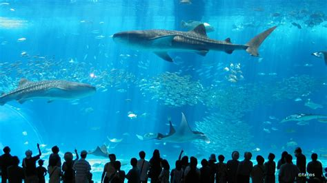 Japanese Aquarium | okinawa churaumi aquarium in japan facts pod