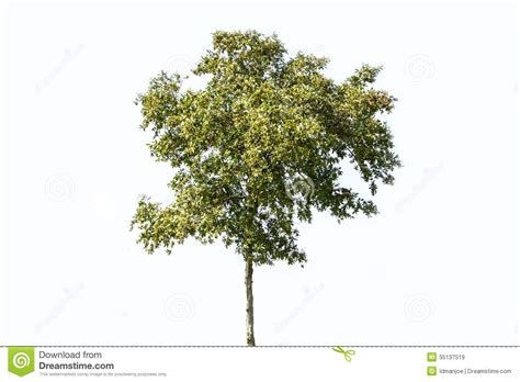 Thin Tree - thin green tree royalty free stock images image 35137519