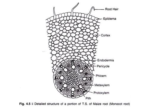 monocot root diagram roots in angiospermic plants function modification and