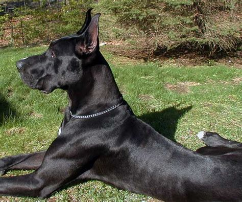 all black dogs black great danes
