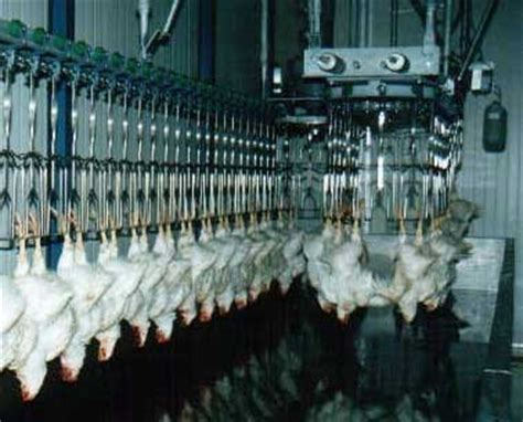 how to kill and bleed market poultry classic reprint books poultry processing equipment 1000 3000 birds per hour