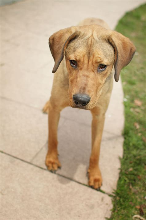 rhodesian ridgeback rescue puppies rhodesian ridgeback animal sanctuary rescue rhodesian ridgeback breeds picture