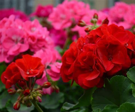 Benih Biji Bunga Geranium Perenial daftar nama bunga lengkap beserta gambar dan penjelasannya