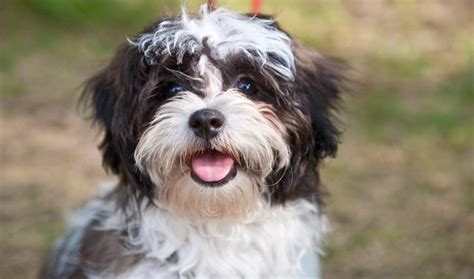 best shoo for a shih tzu if college students were dogs