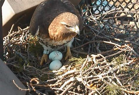 watch nesting red tailed hawks live on bird cams all