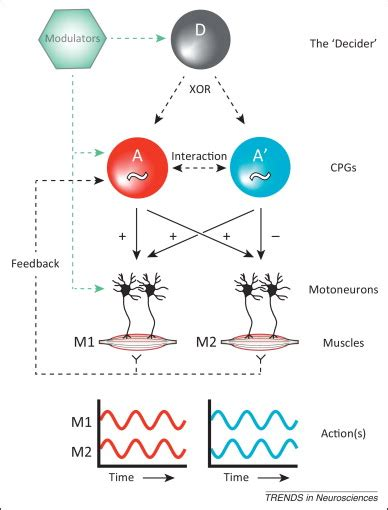 cpg pattern finder how the brainstem controls orofacial behaviors comprised