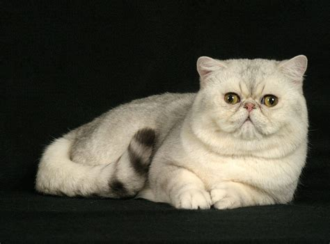 shorthair cat animal photo shorthair cats
