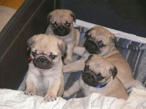 pug puppies price in mumbai pug puppies for sale the indian national kennel club 1 12182 dogs for sale price