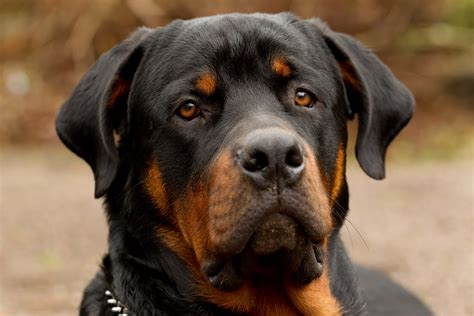 rottweiler breed breed profile rottweiler