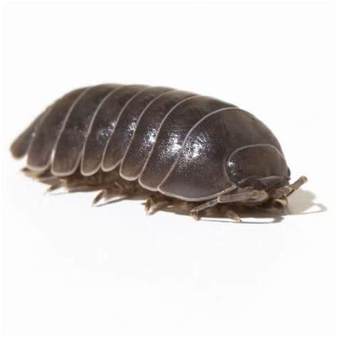 pill pugs pill bug sowbugs potato bugs a overview