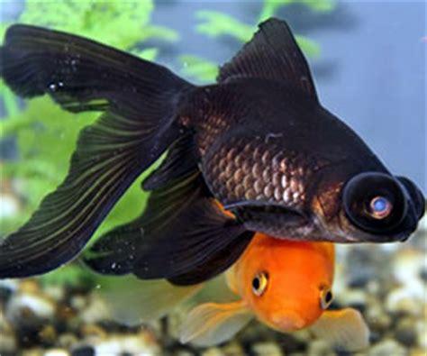 vasca pesce rosso vendita pesci torino d acqua fredda e da laghetto