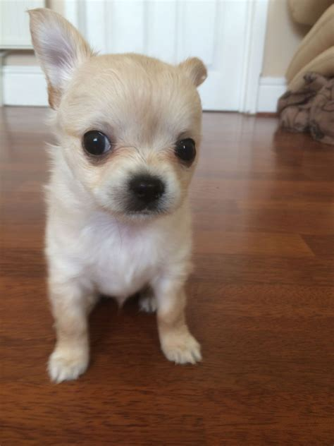 hair chihuahua puppies for sale in 1 haired chihuahua puppies for sale sheffield south pets4homes