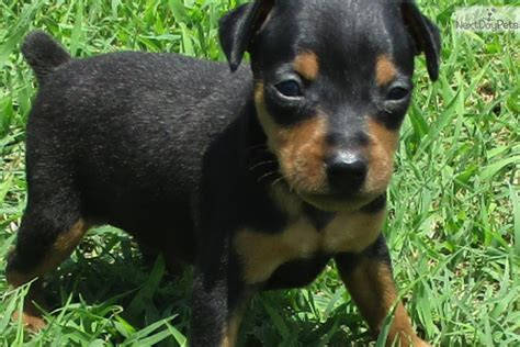 doberman puppies for sale oklahoma miniature pinscher for sale oklahoma breeds picture