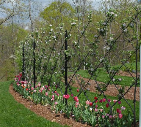 u cordon fruit trees espalier fruit trees more fruit in less space gardensall