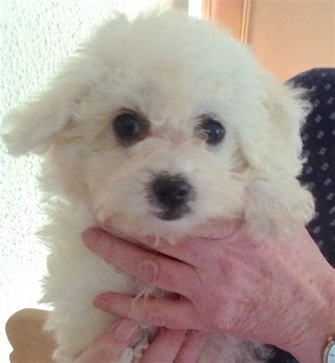 bolognese for sale bolognese for sale crewe cheshire pets4homes