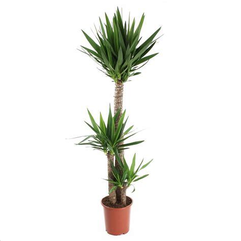 Plante Verte Yucca by Yucca 3 Cannes H 120 60 30cm Pot Plantes Vertes D