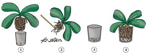 come mantenere le orchidee in vaso come curare le orchidee consigli cura e potatura