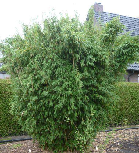 Immergrüne Pflanzen Sichtschutz 2396 by Bambus Pflanzenshop Gro 223 Pflanzen Solit 228 Re Ohne