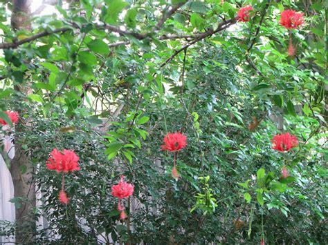 my dry tropics garden hibiscus schizopetalus japanese