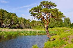 Landscape Pine Trees Landscape With Pine Tree And Lake Free Stock Photo