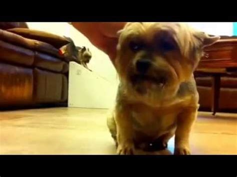 yorkie choking tracheal collapse in dogs funnycat tv